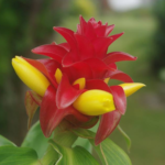 Samoan Flower